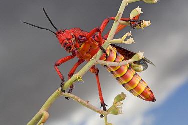 Milkweed Grasshopper (Phymateus morbillosus) member of the Foam grasshopper family has aposematic coloration, South Africa  -  Piotr Naskrecki