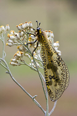 Antlion (Palpares sp) resembles large, colorful dragonfly, South Africa  -  Piotr Naskrecki