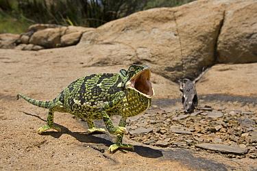 Flap-necked Chameleon (Chamaeleo dilepis) in defensive display, Kruger National Park, Mpumalanga, South Africa  -  Piotr Naskrecki