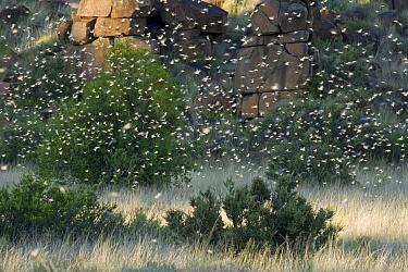 Brown Locust (Locustana pardalina) swarm, South Africa  -  Piotr Naskrecki