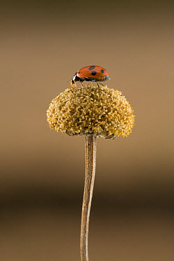 European Spotted Amber Ladybird (Hippodamia variegata) was accidentaly introduced to South Africa in 1967, this species feeds mostly on aphids, South Africa  -  Piotr Naskrecki