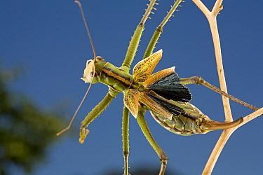 Predatory Katydids (Saginae), South Africa  -  Piotr Naskrecki