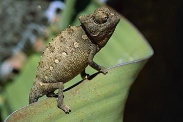 Namaqua Chameleon (Chamaeleo namaquensis) on Welwitchia (Welwitchia mirabilis) inflating body and darkening skin to warm up, Namib Desert, Namibia  -  Piotr Naskrecki