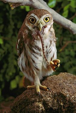 Ferruginous Pygmy Owl (Glaucidium brasilianum) swallowing a captured lizard, Caatinga, Brazil
