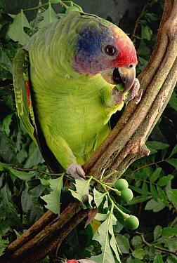 Red-tailed Amazon (Amazona brasiliensis) adult eating fruit, Atlantic Forest ecosystem, Brazil  -  Claus Meyer