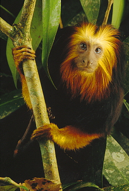 Golden-headed Lion Tamarin (Leontopithecus chrysomelas), Atlantic Forest, Brazil