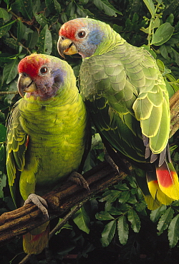 Red-tailed Amazon (Amazona brasiliensis) pair, southern Brazil