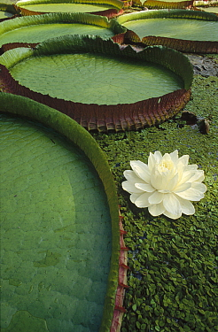 Amazon Water Lily (Victoria amazonica) flower and lily pad, Amazon, Brazil