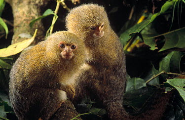 Pygmy Marmoset (Cebuella pygmaea) endangered, pair, world's smallest primate, Amazon, Brazil  -  Claus Meyer