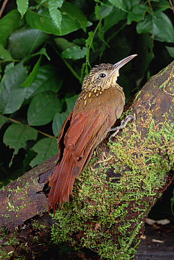 Straight-billed Woodcreeper (Xiphorhynchus picus) portrait, Atlantic Forest ecosystem, Brazil  -  Claus Meyer
