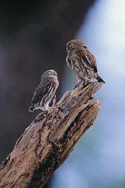 Ferruginous Pygmy Owl (Glaucidium brasilianum) couple perching on a snag in which they nest, Pantanal ecosystem, Brazil  -  Claus Meyer