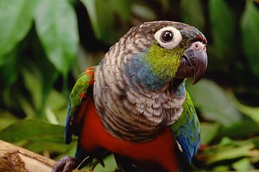 Crimson-bellied Parakeet (Pyrrhura perlata) portrait, Amazon ecosystem, Brazil  -  Claus Meyer