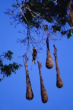 Green Oropendola (Psarocolius viridis) and nests hanging from tree, Amazon ecosystem, Brazil  -  Claus Meyer