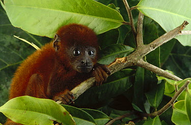 Brown Howler Monkey (Alouatta fusca) baby clinging to branch, Amazon ecosystem, Brazil  -  Claus Meyer
