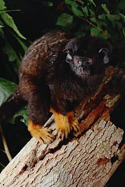 Midas Tamarin (Saguinus midas) portrait, Amazon ecosystem, Brazil  -  Claus Meyer