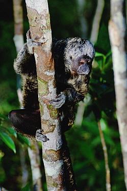 White-faced Saki (Pithecia pithecia) clinging to tree trunk, Amazon ecosystem, Brazil  -  Claus Meyer