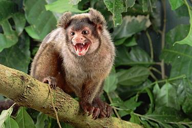 Maues Marmoset (Callithrix mauesi) calling, Amazon ecosystem, Brazil  -  Claus Meyer