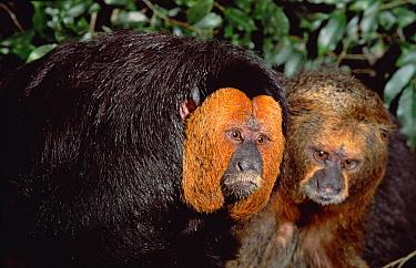 White-faced Saki (Pithecia pithecia) pair, Amazon ecosystem, Brazil  -  Claus Meyer