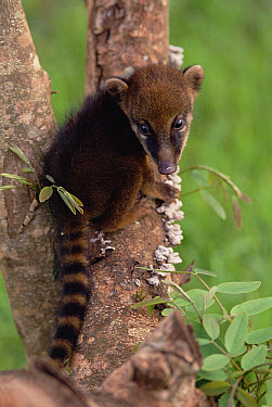 Coatimundi (Nasua nasua) young in tree, Pantanal ecosystem, Brazil  -  Claus Meyer