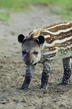 Brazilian Tapir (Tapirus terrestris) baby showing spots and stripes which will disappear with maturity, southern Brazil  -  Claus Meyer
