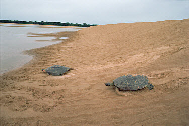 South American River Turtle (Podocnemis expansa) pair on a high beach of Trombetas River where it lays its eggs, Amazon ecosystem, Brazil  -  Claus Meyer