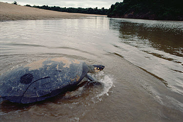 South American River Turtle (Podocnemis expansa) on a high beach of Trombetas River where it lays its eggs, Amazon ecosystem, Brazil  -  Claus Meyer