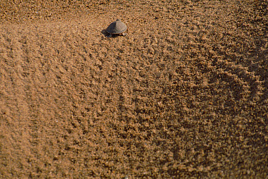 South American River Turtle (Podocnemis expansa) hatchling racing to river after hatching from nest, Amazon ecosystem, Brazil  -  Claus Meyer