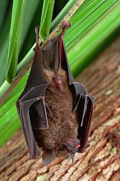 Silky Short-tailed Bat (Carollia brevicauda) hanging upside down, Amazon ecosystem, Brazil  -  Claus Meyer