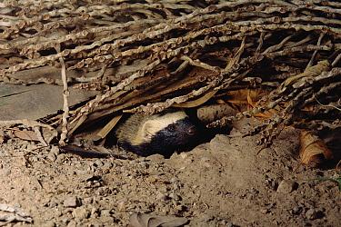Lesser Grison (Galictis cuja) in underground burrow, Cerrado ecosystem, Brazil  -  Claus Meyer