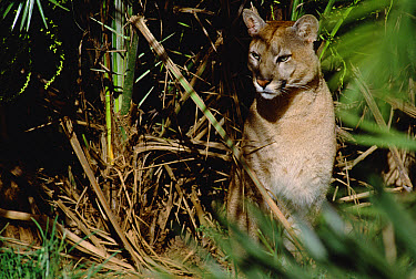 Mountain Lion (Puma concolor) portrait in forest undergrowth, Amazon ecosystem, Brazil  -  Claus Meyer