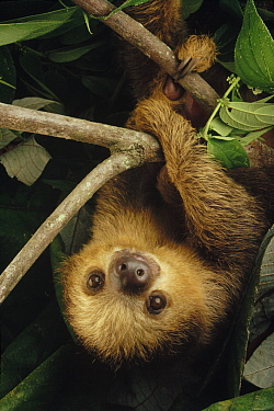 Southern Two-toed Sloth (Choloepus didactylus) hanging from branch, Amazon, Brazil