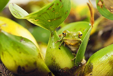 Montevideo Treefrog (Hyla pulchella) hidden among the leaves of a water hyacinth, southern Brazil  -  Claus Meyer