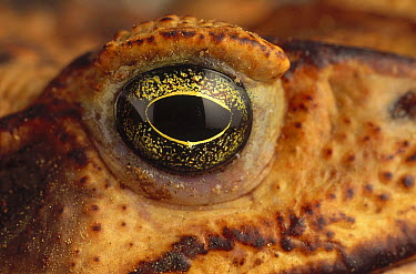 Cururu Toad (Bufo paracnemis) eye of female, Caatinga ecosystem, Brazil  -  Claus Meyer