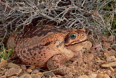 Cururu Toad (Bufo paracnemis) female portrait, Caatinga ecosystem, Brazil  -  Claus Meyer