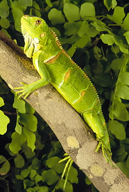 Green Iguana (Iguana iguana) clinging to branch in tropical rainforest, Caatinga, Brazil