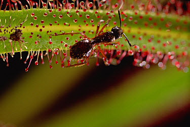 Sundew (Drosera regia) a carnivorous plant, with trapped ant in its sticky leaves, Cerrado ecosystem, Brazil  -  Claus Meyer