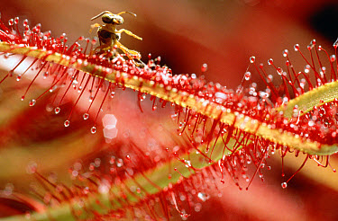 Sundew (Drosera binata) a carnivorous plant, with rapped bee in its sticky leaves, Cerrado ecosystem, Brazil  -  Claus Meyer