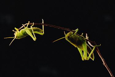 Grasshopper (Tropidacris cristata) pair balancing on twig, Atlantic Forest ecosystem, Brazil  -  Claus Meyer