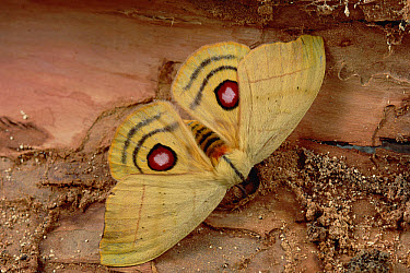 Saturniid Moth (Saturniidae) showing false eye spots on wings, Caatinga ecosystem, Brazil  -  Claus Meyer
