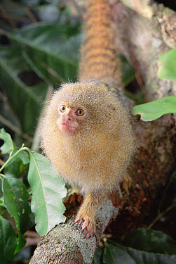 Pygmy Marmoset (Cebuella pygmaea) endangered, portrait, Amazon, Brazil  -  Claus Meyer