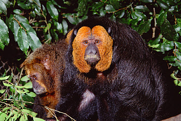 White-faced Saki (Pithecia pithecia) male portrait, Amazon forest, Brazil  -  Claus Meyer