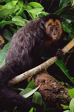 White-faced Saki (Pithecia pithecia), Amazon forest, Brazil  -  Claus Meyer