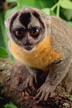 Northern Night Monkey (Aotus trivirgatus) portrait, Amazon ecosystem, Brazil  -  Claus Meyer