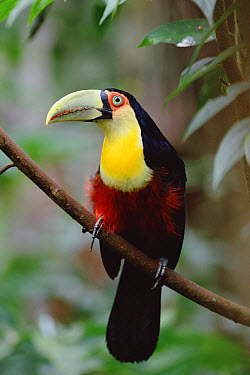 Red-breasted Toucan (Ramphastos dicolorus) perching in tree, south Brazil  -  Claus Meyer