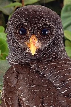 Black Owl (Strix huhula) portrait, Amazonia, Brazil  -  Claus Meyer