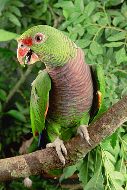 Vinaceous-breasted Parrot (Amazona vinacea), southern Brazil  -  Claus Meyer