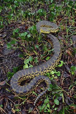 Green Anaconda (Eunectes murinus) moving through wetland vegetation, Pantanal ecosystem, Brazil  -  Claus Meyer