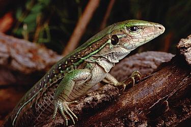 Jungle Runner (Ameiva ameiva) savanna, Brazil  -  Claus Meyer
