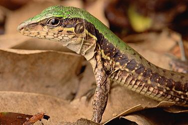 Racerunner Lizard (Plica sp) portrait, Amazon, Brazil  -  Claus Meyer