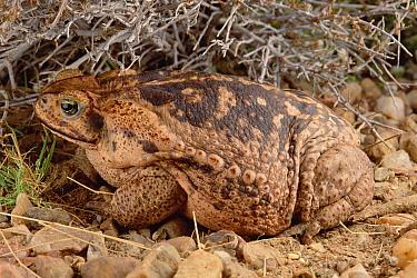 Cururu Toad (Bufo paracnemis) portrait of female, Caatinga, Brazil  -  Claus Meyer